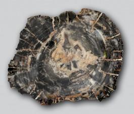 Plaque bois fossilisé